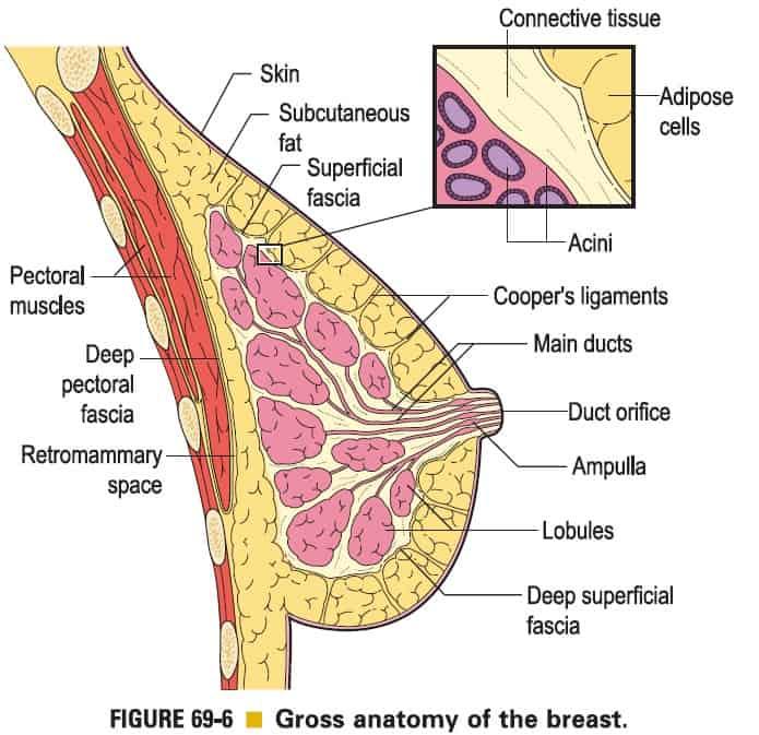סרטן השד - איור 1
